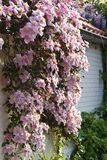 Pink flowering Clematis montana in spring. Growing over a white wall Stock Photography
