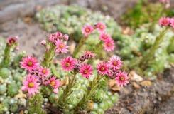 Pink flowering Cobweb Houseleek from close Stock Image