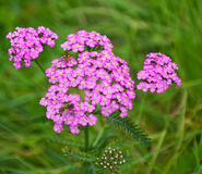 Pink flowering Common Yarrow. And hoverflies with a blurred green background Stock Image