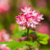 Pink Flowering Currant Stock Image