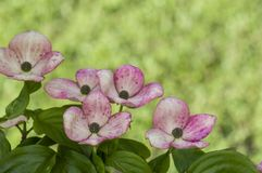 Pink flowering dogwood bush Royalty Free Stock Images