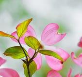 Pink Flowering Dogwood. Flower detail stock images