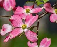 Pink Flowering Dogwood Tree - Cornus florida. A close-up view of a pink dogwood flowers on a flowering dogwood tree on a beautiful spring day located in the Blue royalty free stock images
