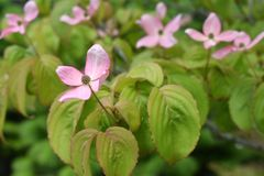 Pink Flowering Dogwood Tree - Cornus Kousa Satomi Royalty Free Stock Images