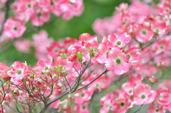 Pink Flowering Dogwood, Tree Detail. Pink flowering dogwood flower clusters, tree branch detail Royalty Free Stock Photos
