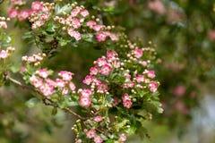 Pink flowering English Midland Hawthorn, Crataegus oxyacantha, laevigata blossom. Medical plant bush stock photos