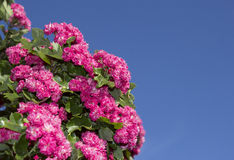 Pink flowering hawthorne in spring Stock Photo