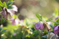Pink flowering helleborus Stock Photos