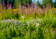 Pink flowering hemp agrimony in front of other flowering wild pl. Pink flowering Hemp-agrimony or Eupatorium cannabinum plants in a nature reserve. In the royalty free stock photo