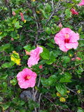 Pink flowering hibiscus plant. Pink flowering hibiscus plan photographed on Canary Islands Stock Image