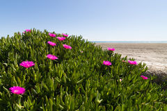 Ice plant Royalty Free Stock Image