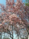 Pink flowering magnolia tree in early spring stock photography