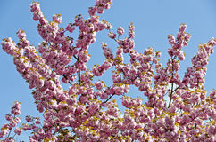 Pink flowering ornamental almond tree. Pink flowering japanese almond tree before blue sky Royalty Free Stock Images