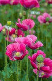Pink flowering Papavers from close Royalty Free Stock Images