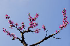 Pink flowering peach  blossoms Stock Photography