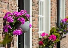 Pink flowering Pelargoniums in a hanging pot Royalty Free Stock Image