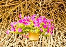 Pink flowering petunia. Stock Images