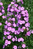 pink flowering Phlox  (Phlox) Royalty Free Stock Images