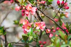 Pink flowering plant in april. Blurred background of the branches and green leaves stock images