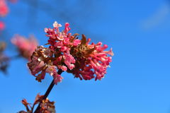 Pink flowering plant on a blue sky background. Spring season flowers portrait isolated Royalty Free Stock Photos