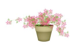 A Pink Flowering Plants in Flower Pot Stock Photo