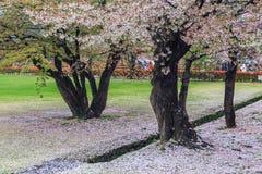 Pink flowering sakura Royalty Free Stock Photography