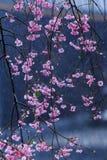 Pink flowering sakura Royalty Free Stock Images