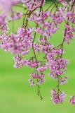 Pink flowering sakura Stock Image
