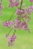 Pink flowering sakura Stock Photo