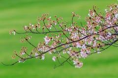 Pink flowering sakura Royalty Free Stock Image
