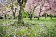 Pink flowering sakura Stock Images