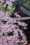 Pink flowering sakura Royalty Free Stock Photo
