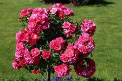 Pink flowering shrub Stock Photography