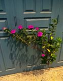Pink Flowering Shrub Grows through crack in Concrete. Next to building Stock Images