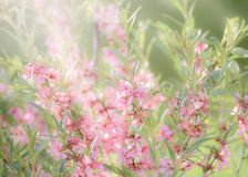 Pink flowering spring blossom, green lawn background. Beautiful pink spring tender cherry or almond flowers blossom. Royalty Free Stock Photos