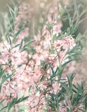 Pink flowering spring blossom, green lawn background. Beautiful pink spring tender cherry or almond flowers blossom. Royalty Free Stock Image
