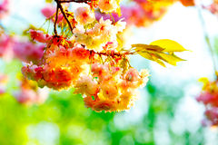 Pink flowering tree Stock Photography