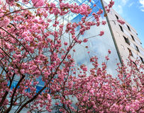 Pink flowering tree, in the background the glass wall Royalty Free Stock Image