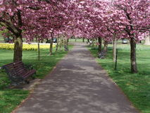 Pink flowering tree lined path. Path in Greenwich Royal Park with pink flowering trees and daffodils in spring royalty free stock photo