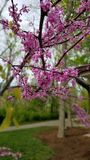 Pink flowering tree. Nature, outdoors, pretty stock images