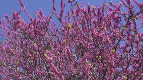 Pink flowering tree in Rhodes stock footage