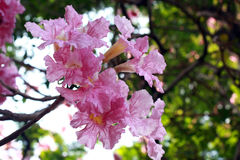 Pink Flowering Tree In Springtime. The beautiful place for relaxing time Stock Images