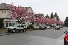 Pink Flowering Trees. Line street in Qualicom Beach Stock Photography