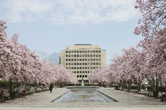 Pink Flowering Trees by a White Building Stock Photo