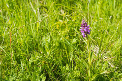 Pink flowering Western Marsh Orchid Stock Images