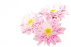 Pink flowers 1. Three pink flowers on white background Royalty Free Stock Photography