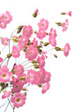 Pink flowers. Gentile pink flowers on the white background Stock Photos