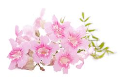 Pink flowers. Pink flower isolated on white Stock Photography