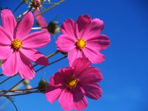 Pink flowers. Beautiful three pink flower against the clear blue sky royalty free stock photos