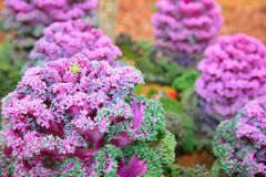 Pink flowers. Decorative ornamental cabbage pink flower Stock Image